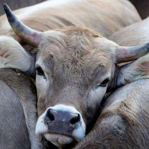 A l'université d'Oxford, les étudiants veulent supprimer la viande à la cantine