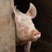 """Après les lasagnes au cheval, des boulettes """"100% boeuf""""...au porc"""
