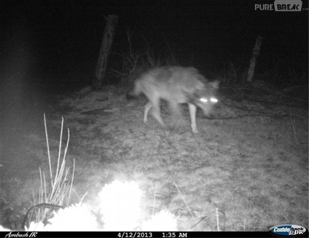 Un loup a été flashé en Ardéche le 12 avril dernier par un radar automatique, confirmant les soupçons des éleveurs