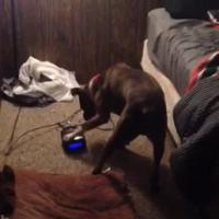 Le chien le plus intelligent du net : il éteint le réveil avant son maître