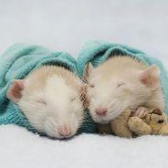 [CUTE] Vous n'aurez plus jamais peur des rats après avoir vu ces photos