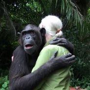 [VIDEO] Scène émouvante : un chimpanzé remercie ses sauveteurs avec un énorme câlin
