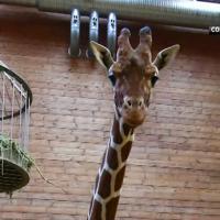 [NEWS] Marius le bébé girafe, abattu à Copenhague : le monde choqué par sa mort