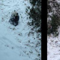 Trop mignon : un bébé panda découvre les joies de la neige