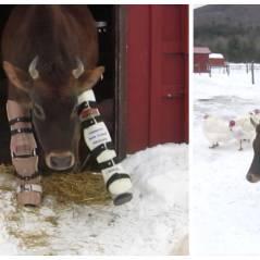 Une vache condamnée échappe à la mort grâce à... des prothèses de pattes