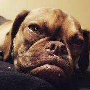 Earl The Grumpy Puppy : le chien grincheux qui va faire de l'ombre à Grumpy Cat
