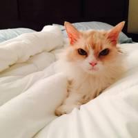 Angry Pearl, le chat vénère qui buzze : Grumpy Cat a trouvé un sérieux concurrent !