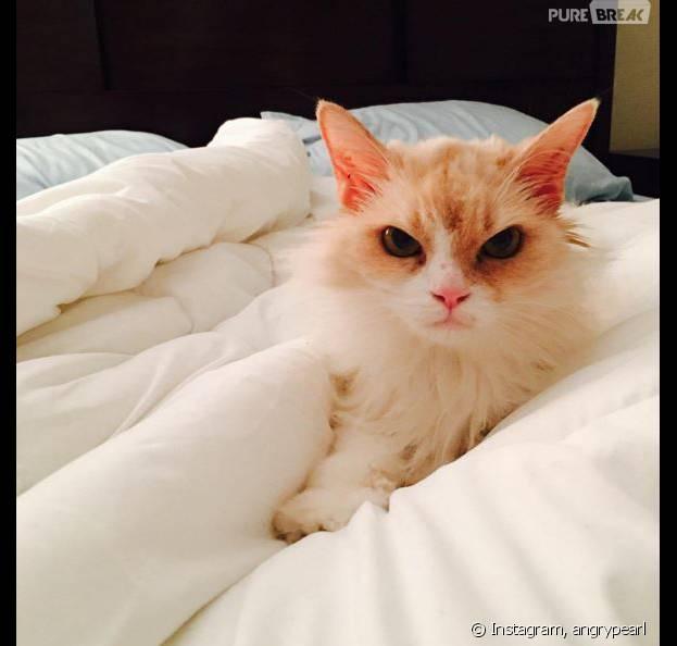 Angry Pearl : le chat vénère qui va faire de l'ombre à Grumpy Cat