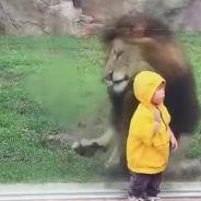 Gros fail : un lion tente d'attaquer un enfant dans un zoo et se prend une vitre