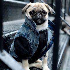 Veste en jean, hoodie... Habillez votre chien en mode streetwear grâce à Pawkier