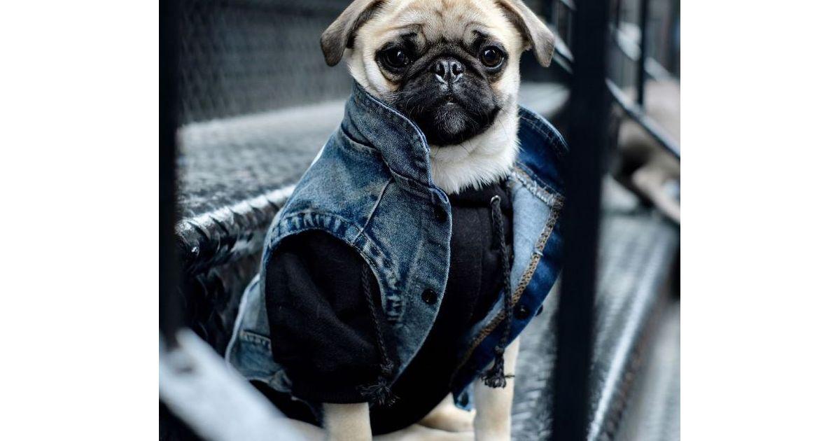 veste en jean hoodie habillez votre chien en mode streetwear gr ce pawkier. Black Bedroom Furniture Sets. Home Design Ideas