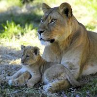 [VIDEO] Pour protéger son petit, une lionne attaque violemment un jeune lion