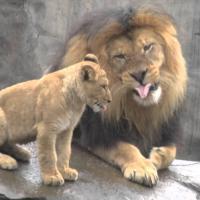 [CUTE] Quand 3 lionceaux découvrent leur papa pour la première fois
