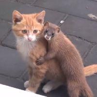 Instant cuteness : cette belette veut devenir la meilleure amie de ce chaton