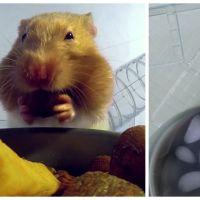Adorable : quand un hamster a les yeux plus gros que le ventre