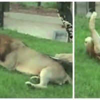 Après 13 ans enfermé en cage, un lion découvre la nature : une vidéo incroyablement touchante