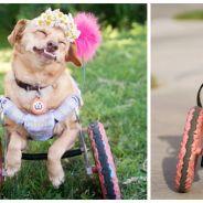 Daisy, une adorable chienne en fauteuil roulant devenue superstar d'Instagram !