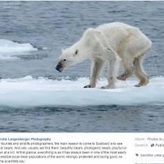 La photo choc d'un ours polaire extrêmement maigre bouleverse les internautes