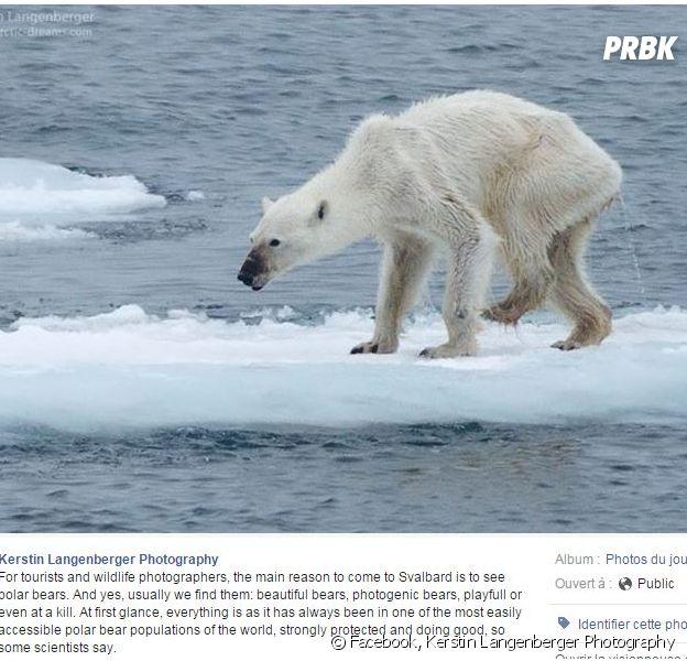Cette photo d'un ours polaire squelettique à littéralement choqué les internautes