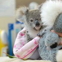 Un bébé koala orphelin remplace sa maman par une peluche... et va vous faire fondre 😍