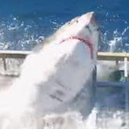 Un grand requin blanc coincé dans une cage avec un plongeur, la vidéo choc 😱