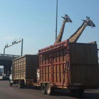 [CHOC] La triste histoire d'une girafe morte après avoir heurté un pont