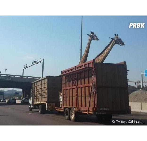 En Afrique du Sud, une girafe est morte après que sa tête ait heurté un pont