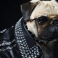 Une chaîne de télé pour chiens en France : Les Ch'tihuahuas dans la Jet Set ?