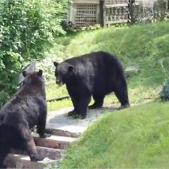 Quand deux ours se battent... en pleine rue