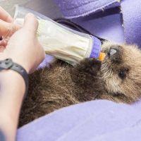 Sauvetage : ils récupèrent et soignent un bébé loutre abandonné par ses parents