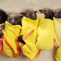 Les bébés chauve-souris sont plus mignons que vous ne l'imaginez : la preuve !