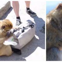 Tête brûlée, ce singe vole tranquillement un sandwich dans le sac d'un touriste
