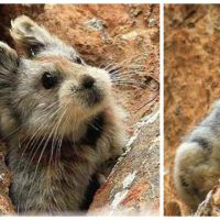 Encore plus rare et plus mignon qu'un panda : découvrez le Ili Pika, jamais pris en photo avant 2015