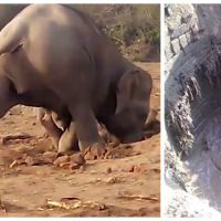 Infatigable, une mère éléphant tente de sauver son bébé pendant plus de 11 heures !