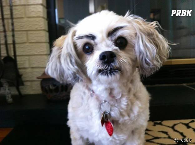 Un chien avec des sourcils dessinés