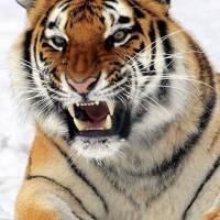 WTF : un tigre devient ami avec... son repas !