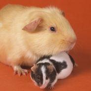 Une souris morte retrouvée dans une conserve d'haricots verts, miam