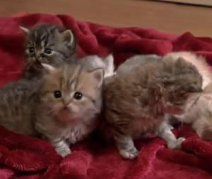 Mesure n°2 de François Hollande :un calendrier avec des Munchkin Cats, des petits chatons nains
