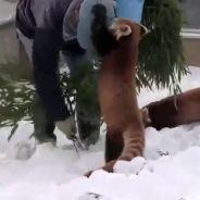 On a trouvé le meilleur métier du monde : soigneur de panda roux !
