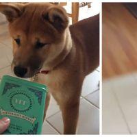Trop mignon : un chien Shiba Inu devient complètement fou... à cause d'une boite !