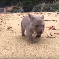 Tout plaquer et devenir câlineur professionnel de bébé wombat : le rêve devenu réalité